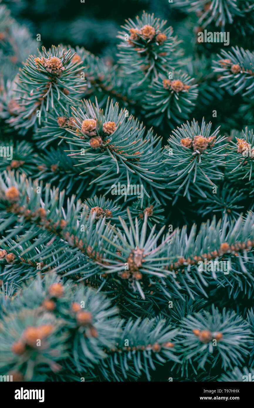 background, texture pine branches green blue with young cones - Stock Image
