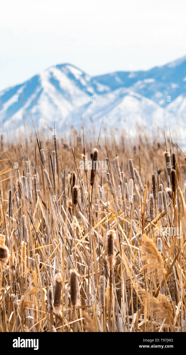 Vertical Tall brown grasses on a vast terrain viewed on a sunny winter day Stock Photo