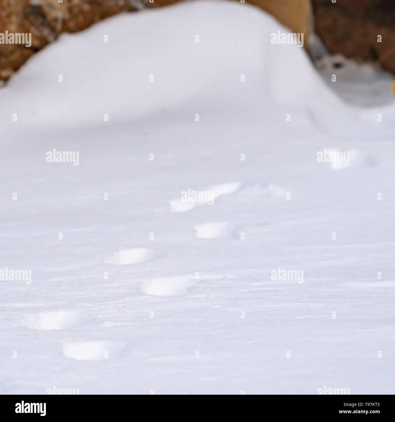 Clear Square Nature scenery with a close up of animal tracks on powdery snow in winter - Stock Image