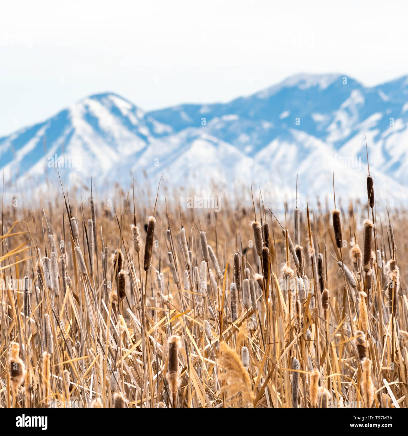 Clear Square Tall brown grasses on a vast terrain viewed on a sunny winter day - Stock Image