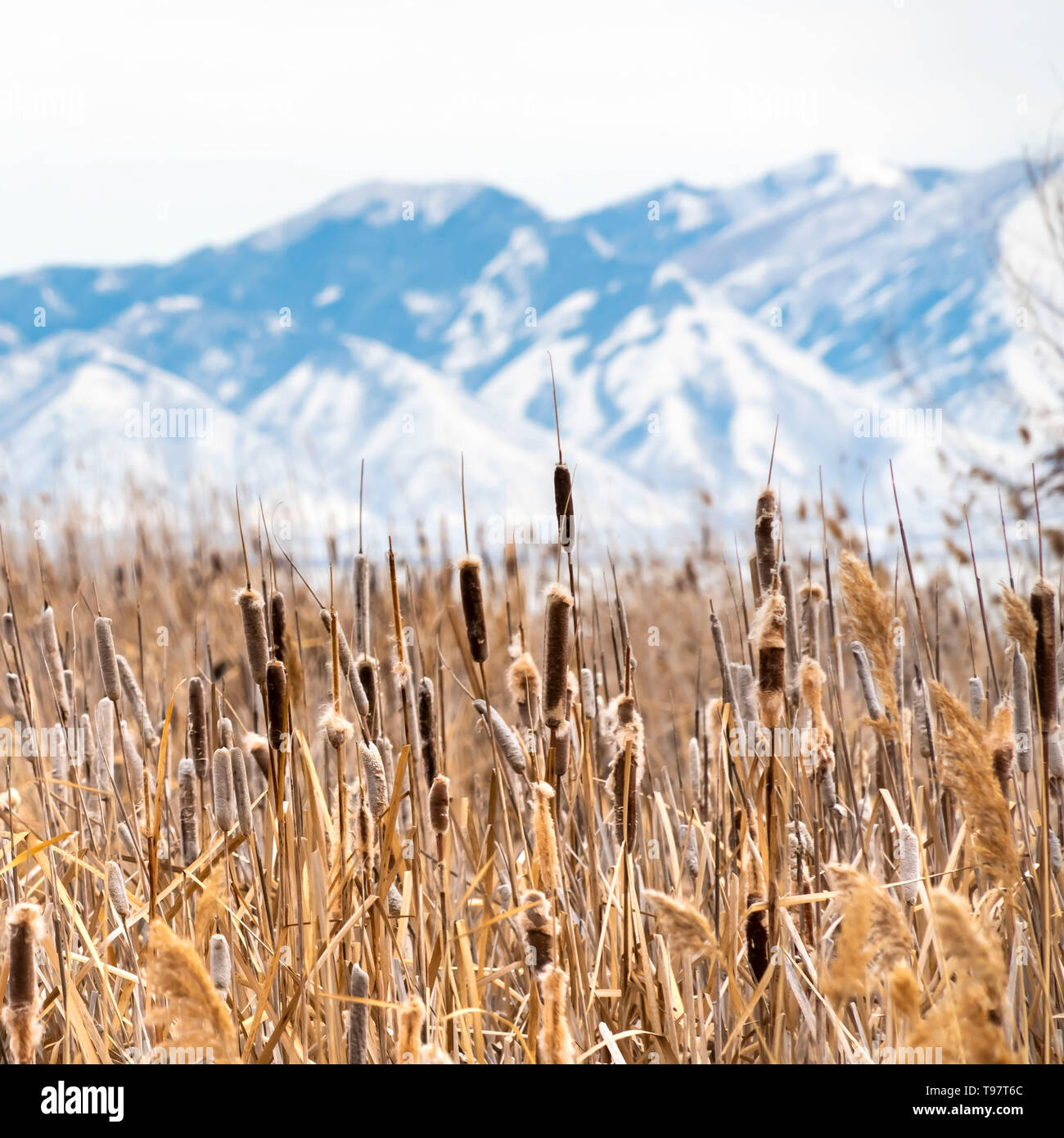 Square Tall brown grasses on a vast terrain viewed on a sunny winter day - Stock Image