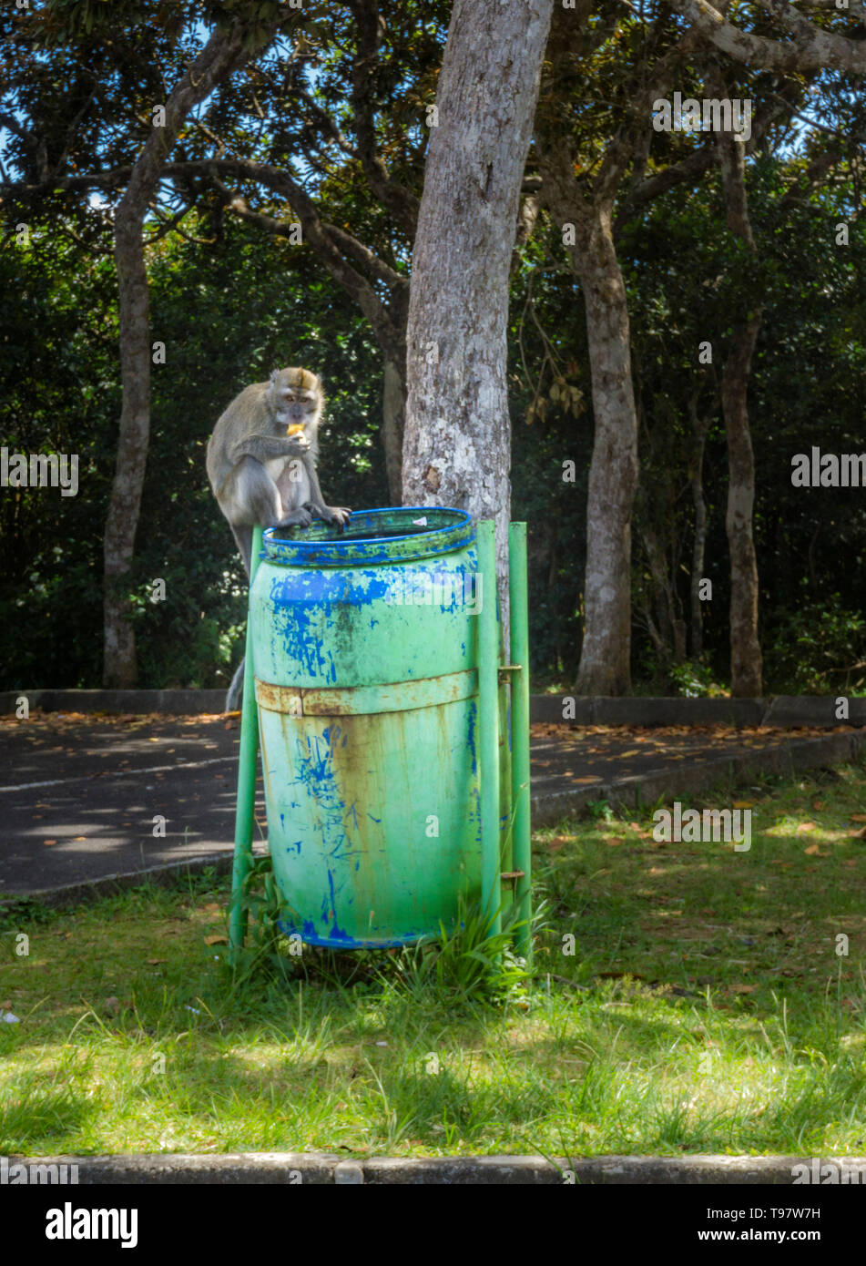 Nature park Mauritius - Macaque monkey eating a banana peel from a litter. - Stock Image