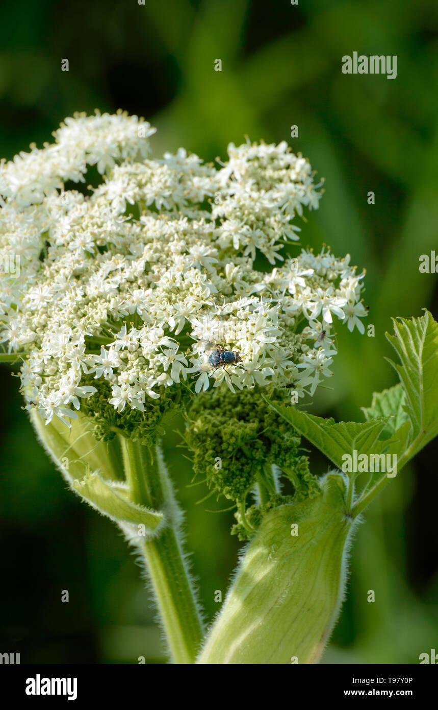 Blue Bottle Fly, on springtime flower of white Cow Parsnip, against natural dark green background, morning light. - Stock Image