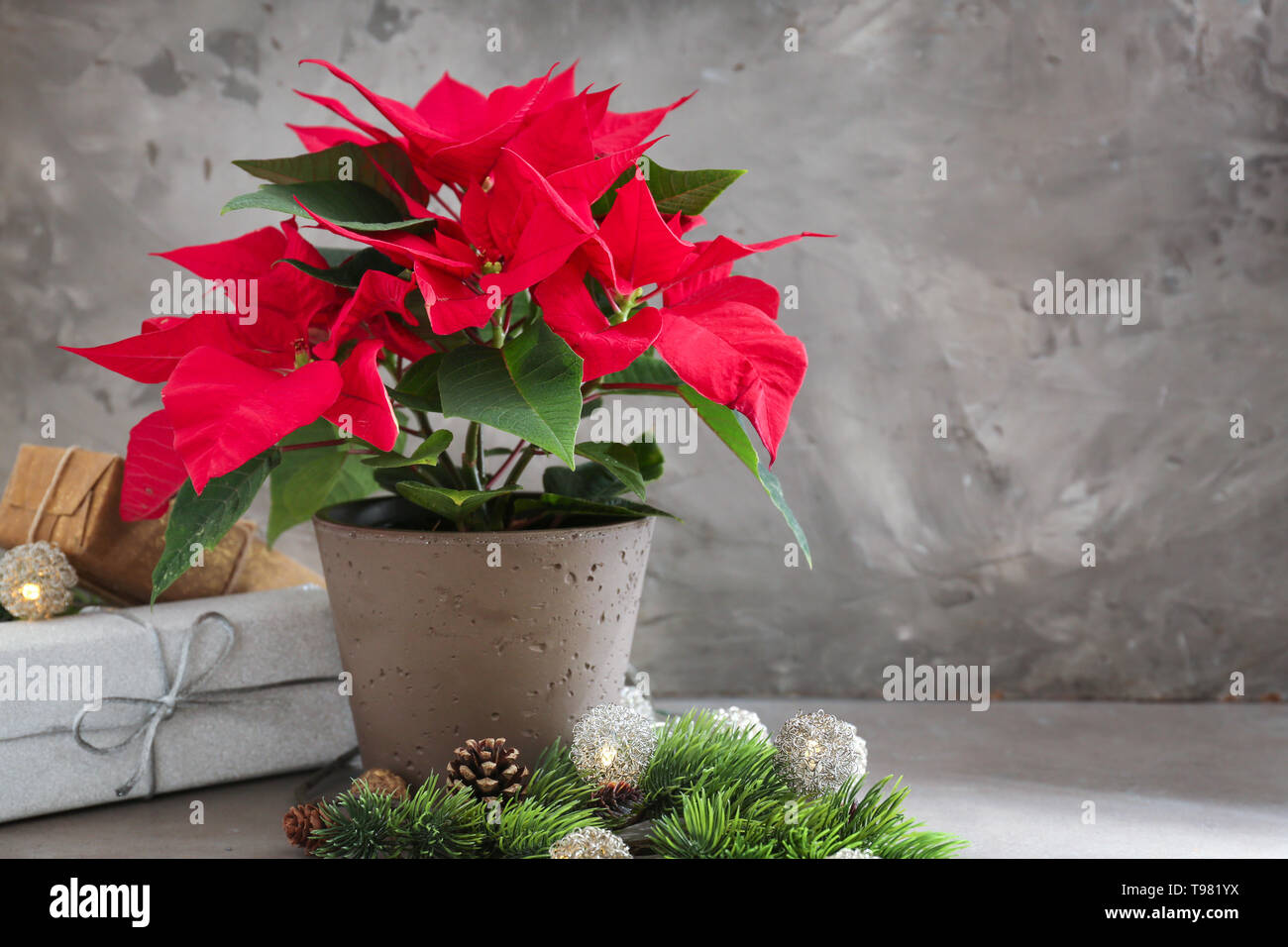 Christmas Flower Poinsettia With Gift Boxes On Grey Table Stock Photo Alamy