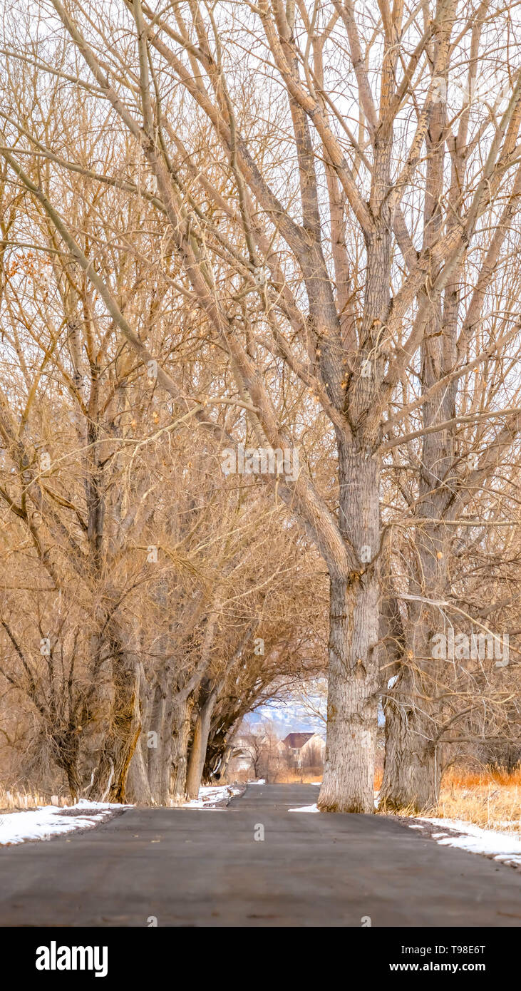 Clear Vertical Paved road amid a snowy terrain with tall leafless hibernating trees in winter - Stock Image