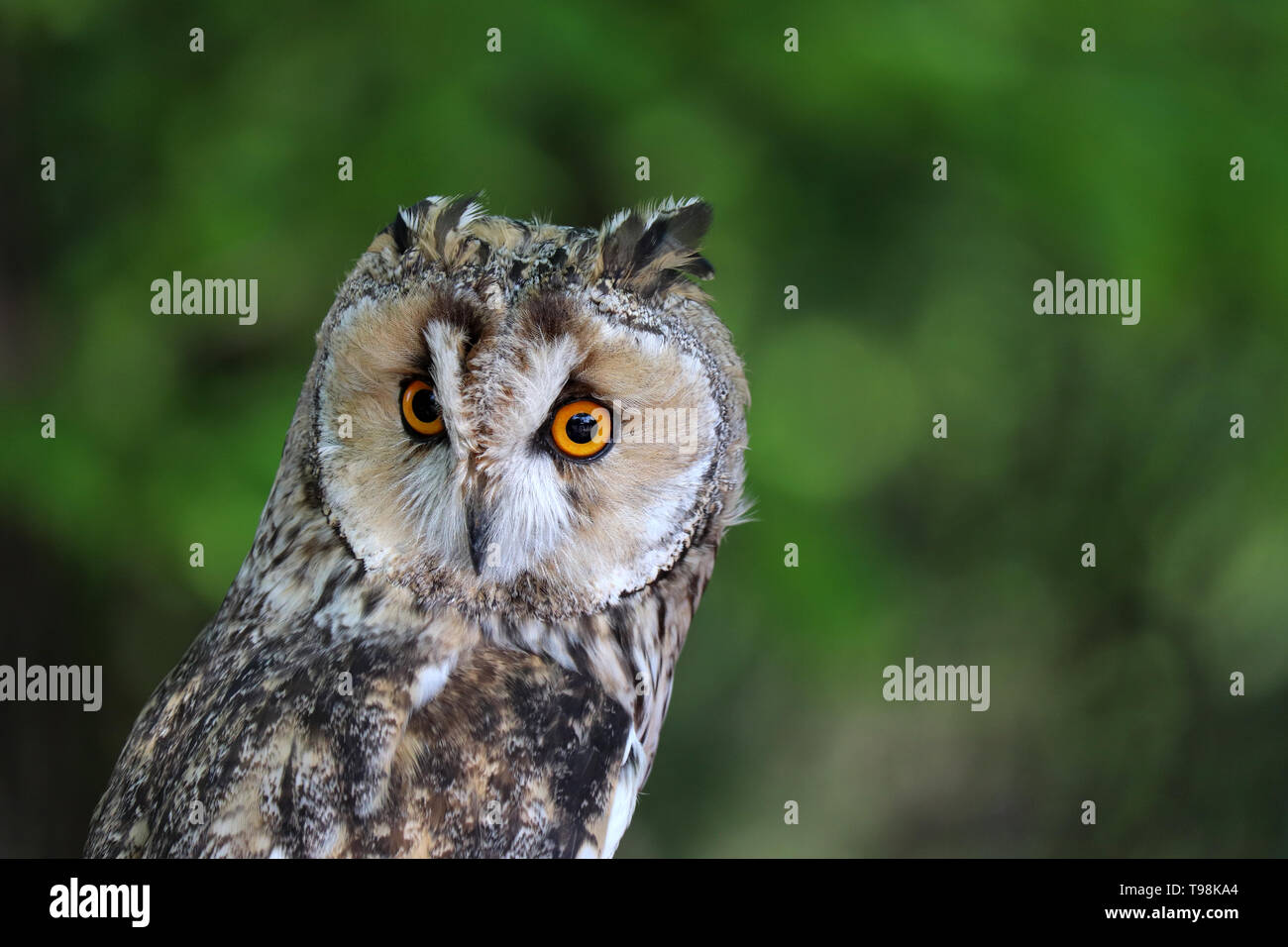 Owl portrait on green blurred background. Cute long-eared owl in a summer forest, nocturnal bird Stock Photo