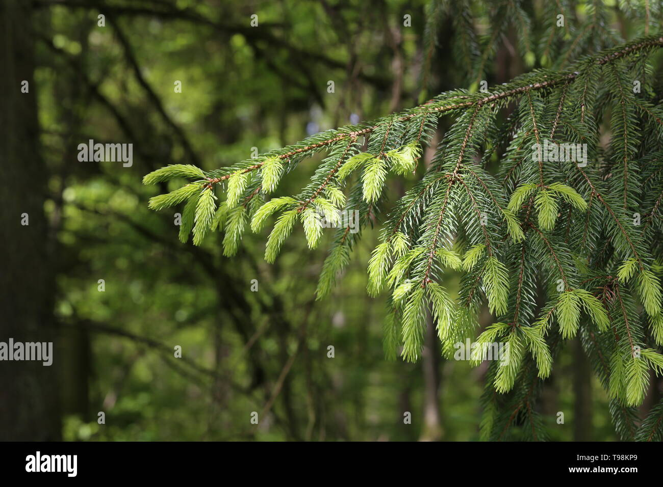 Fresh shoots on spruce branches in the forest. - Stock Image