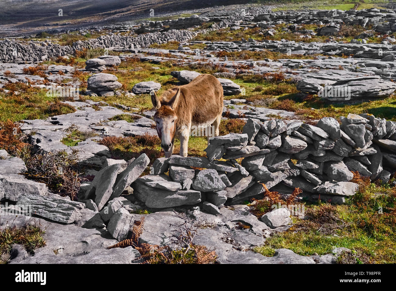 Ireland, County Clare, The Burren, Donkey grazing amidst typical rocky terrain with dry stone wall behind. - Stock Image