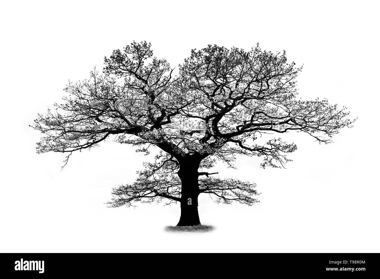 Oak tree silhouette isolated on white background with a beautiful curved branches that looks like a lungs Stock Photo