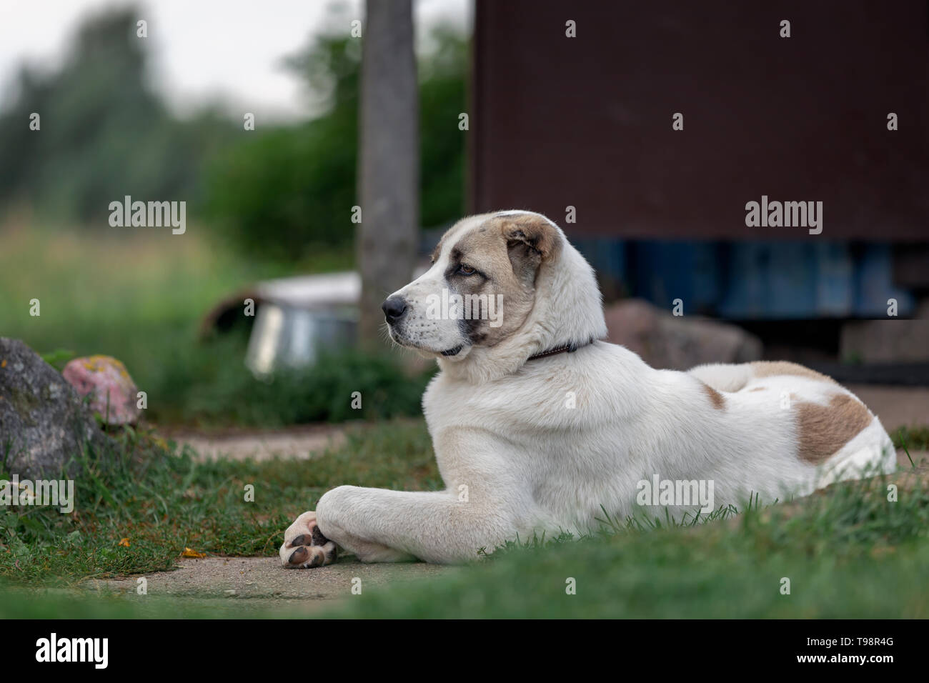 Serious asian dog proudly lies in the yard and safeguard it - Stock Image