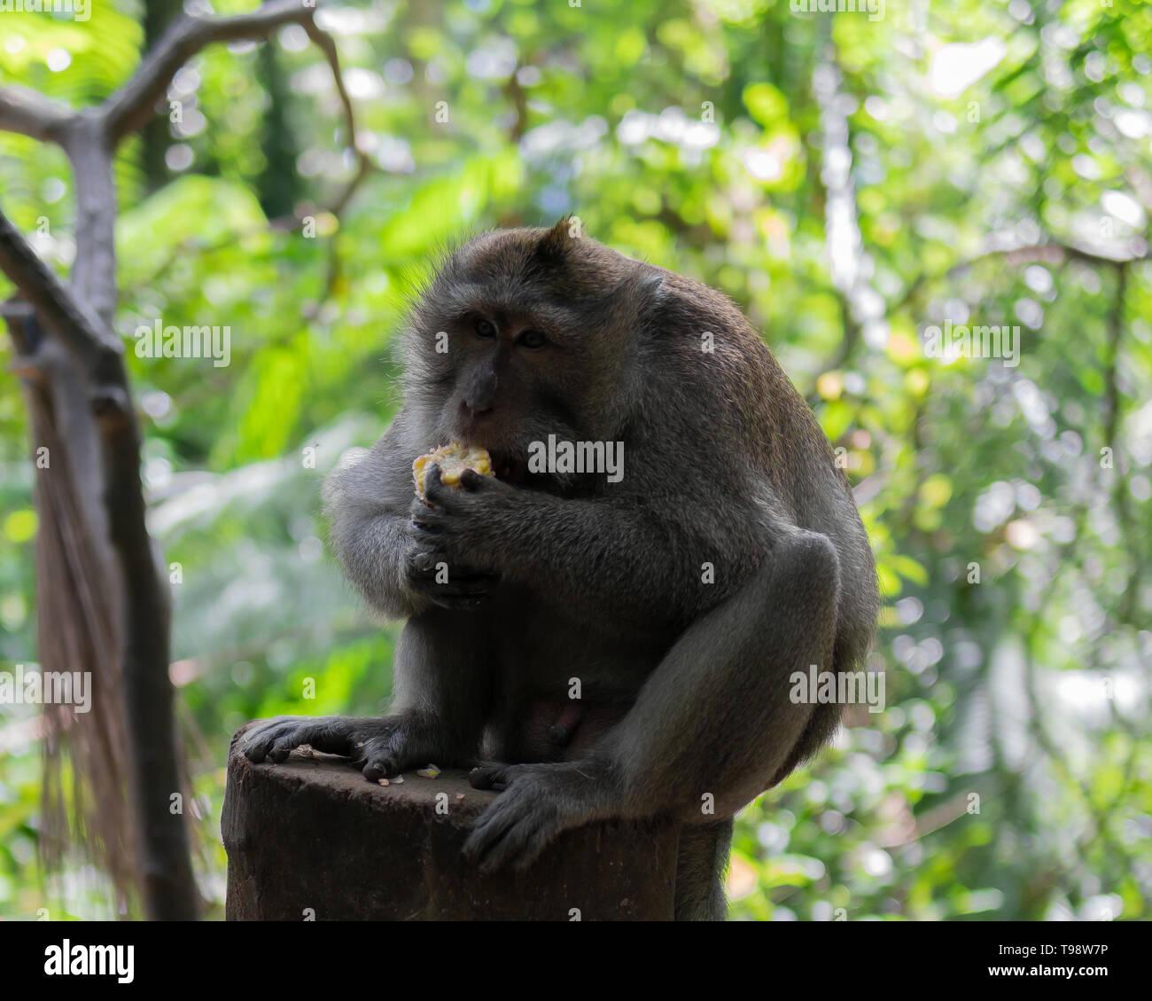 Adult monkey sitting on a log eating corn. Monkey Forest, Ubud, Bali, Indonesia. - Stock Image