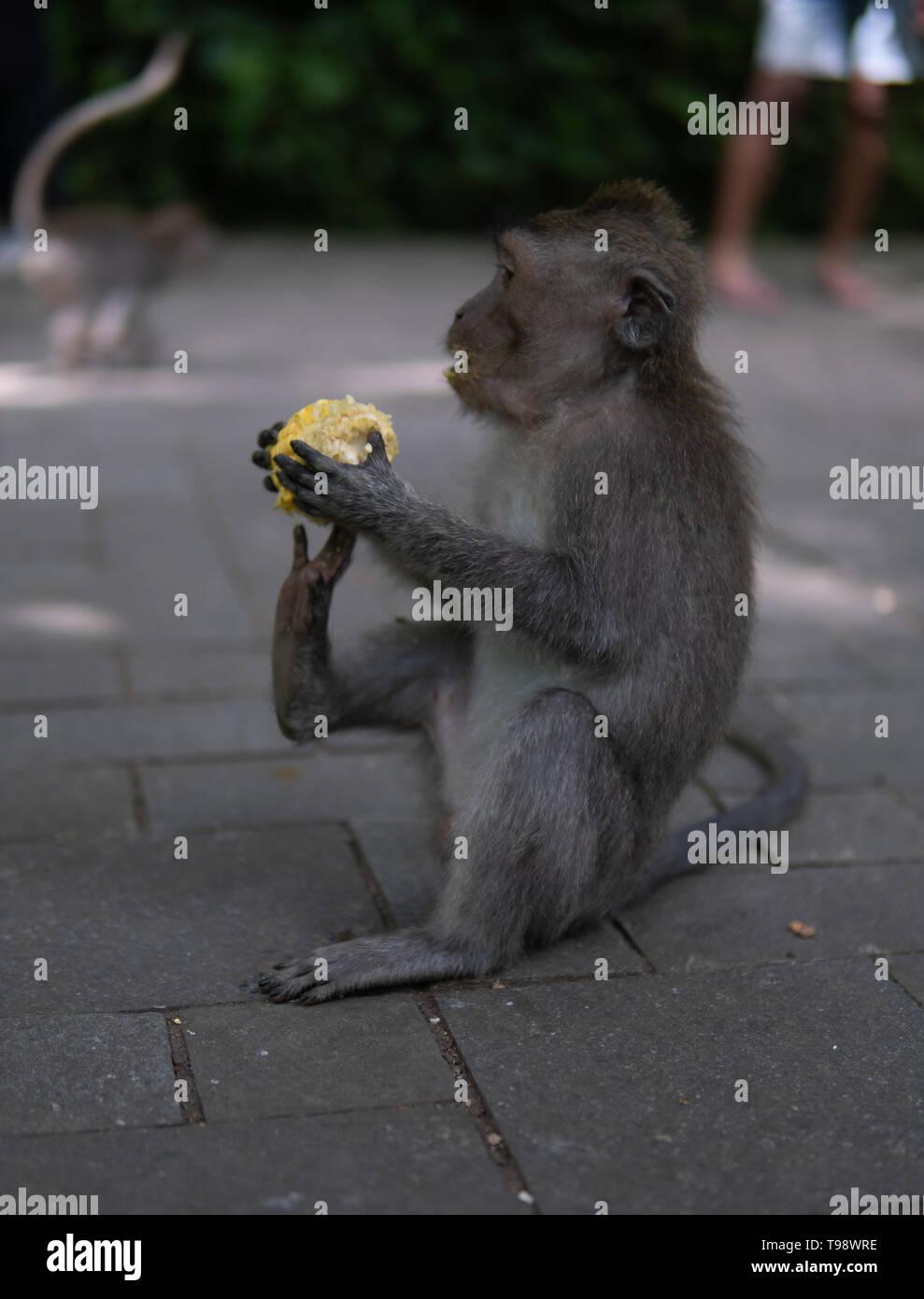 Young Money sitting on ground eating corn in Monkey Forrest, Ubud, Bali, Indonesia. - Stock Image