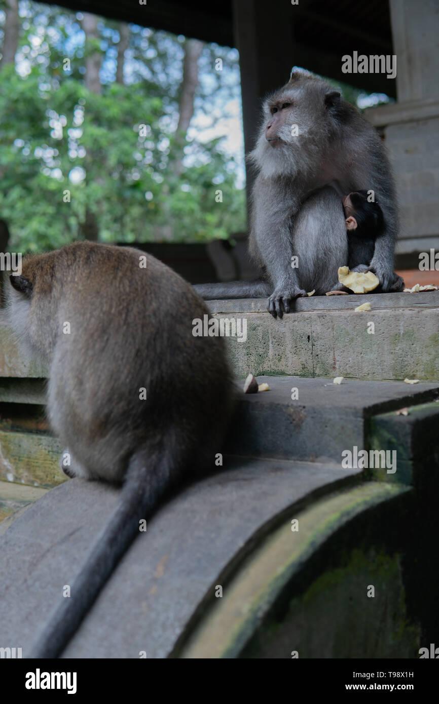 Monkey family sits on step at Monkey Forrest, Ubud, Bali, Indonesia. - Stock Image