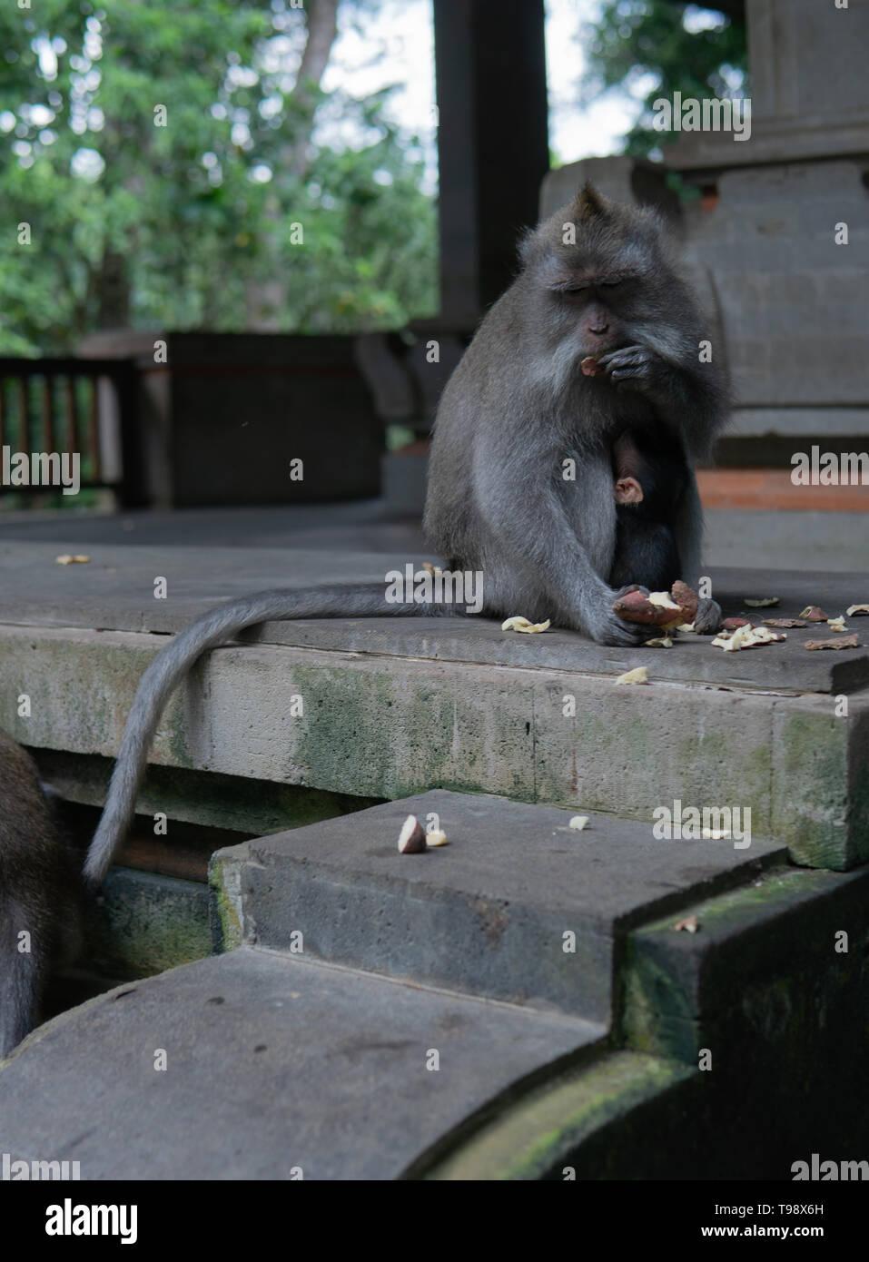 Mother and baby monkey sit together at Monkey Forrest, Ubud, Bali, Indonesia. - Stock Image