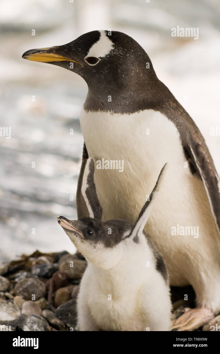 Mother and infant Penguins. - Stock Image