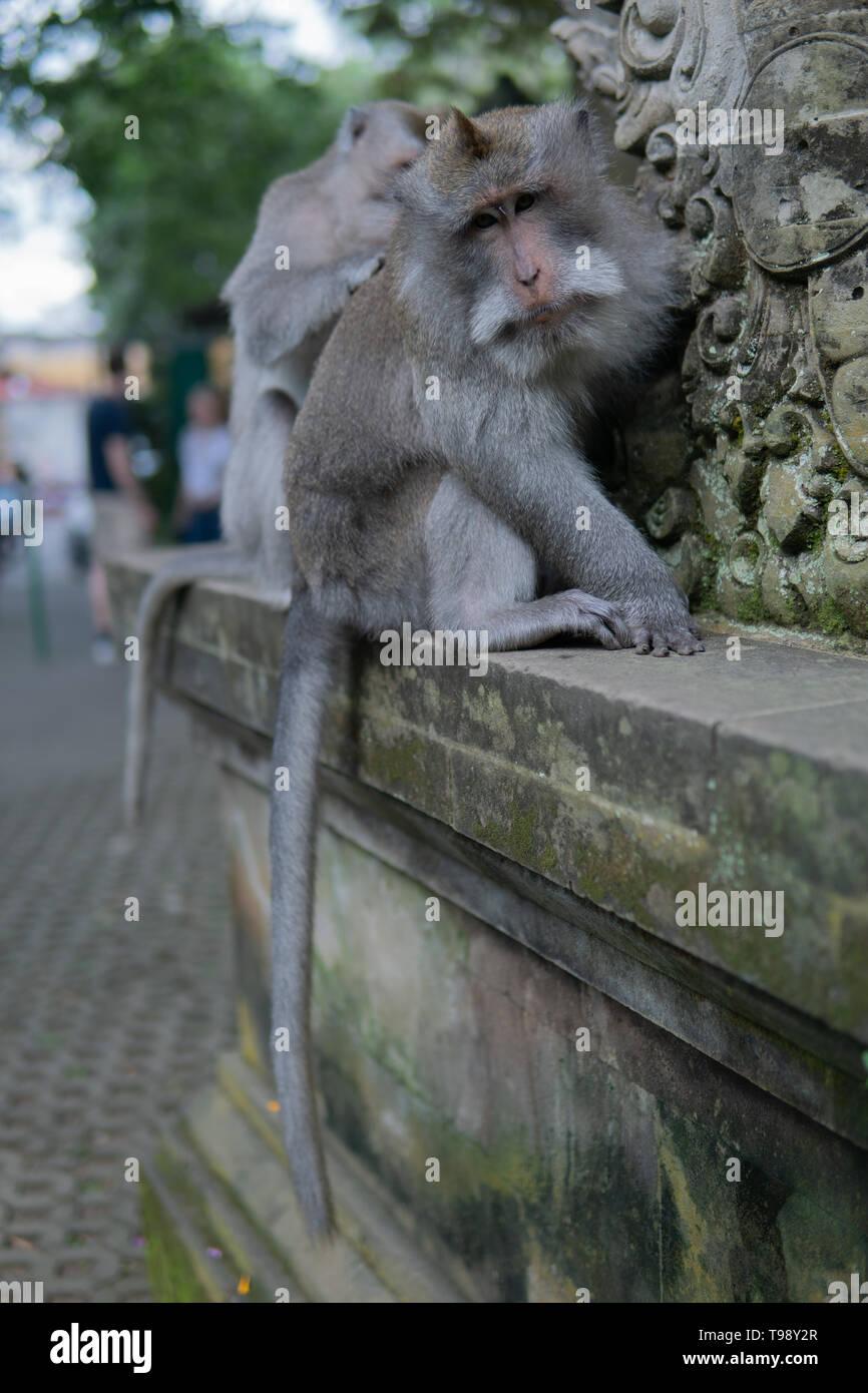 Adult Money grooms another adult monkey in Monkey Forrest, Ubud, Bali, Indonesia. - Stock Image