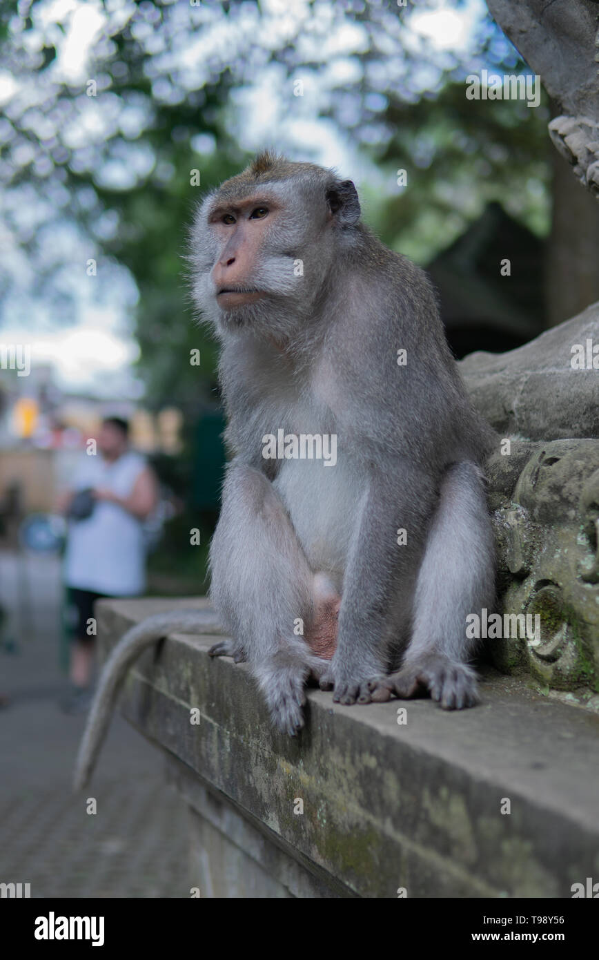 Portrait of an Adult Monkey on a ledge in Monkey Forest, Ubud, Bali, Indonesia. - Stock Image