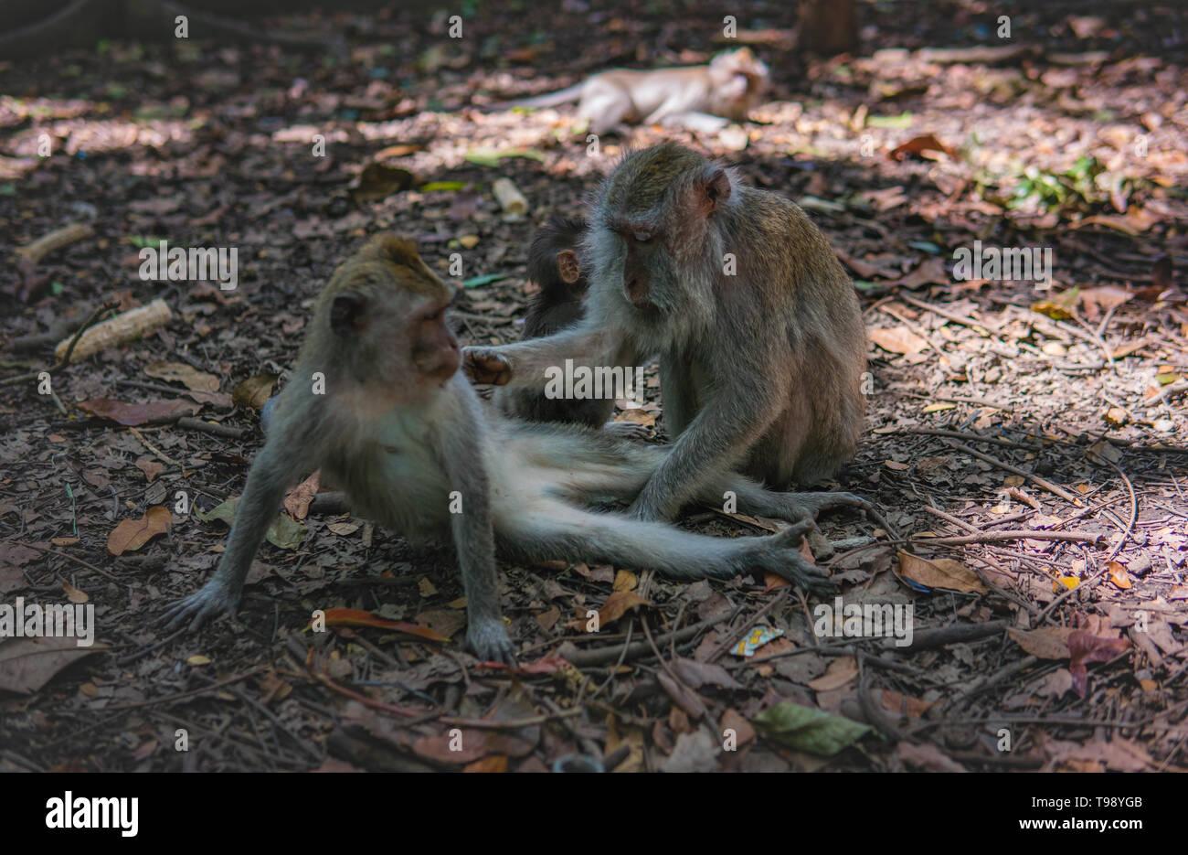 Adult Monkey grooms child monkey in Monkey Forest, Ubud, Bali, Indonesia. - Stock Image
