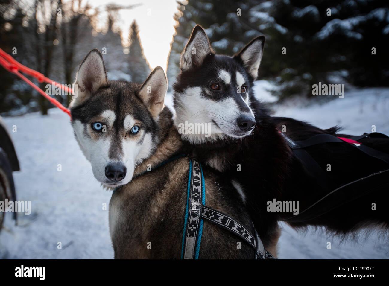 Husky sled dog tour, Thuringian Forest, Germany Stock Photo