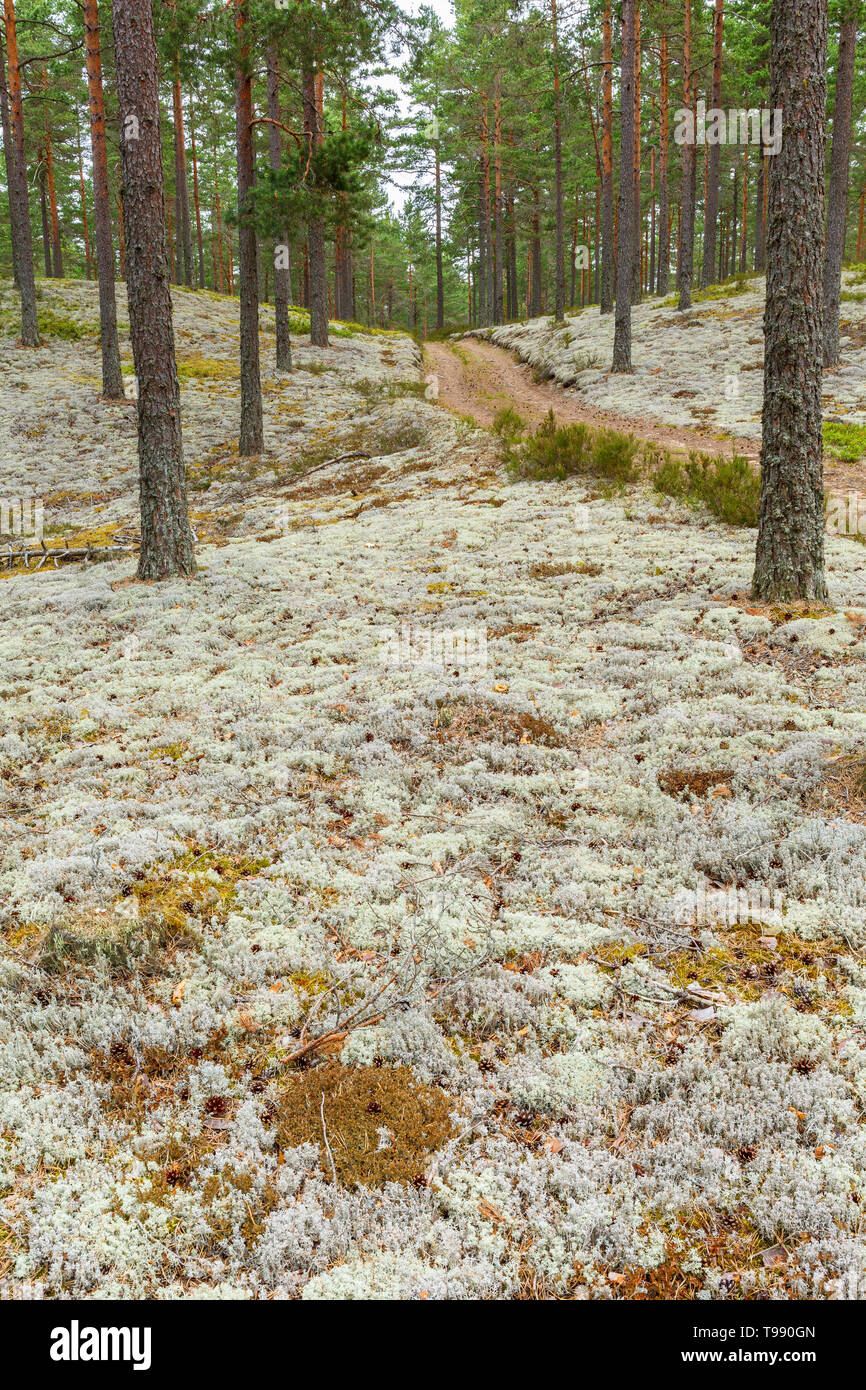 Cladonia stellaris on the forest floor and a forest road - Stock Image