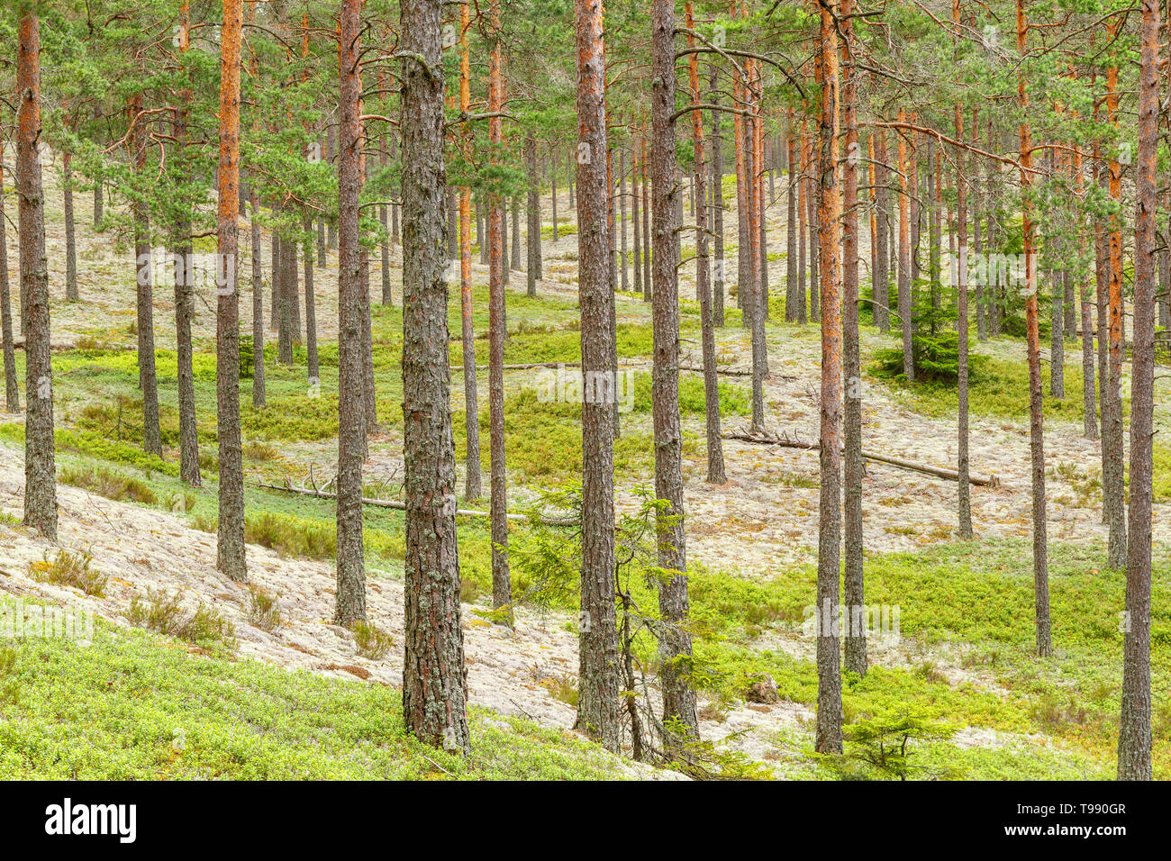Pine woodland in the wilderness - Stock Image