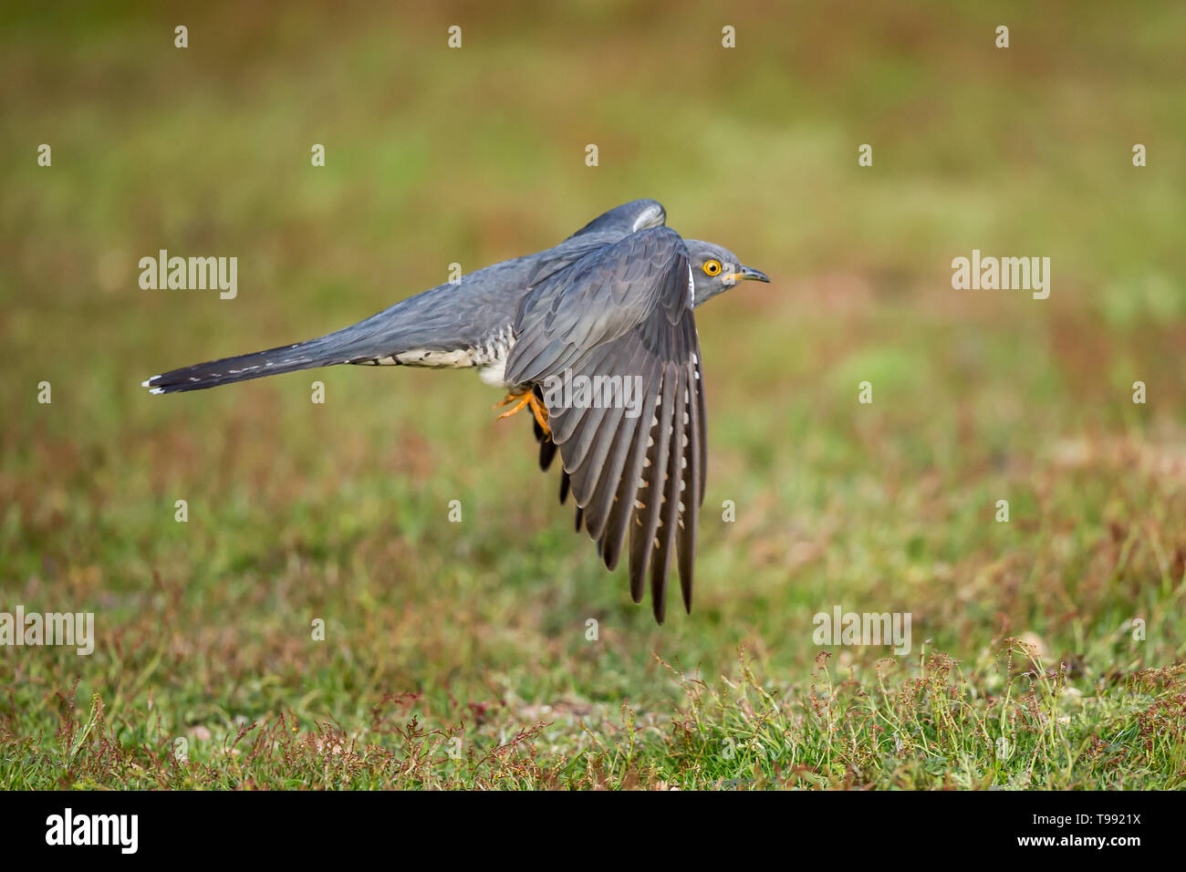 A Common cuckoo in flight up close - Stock Image