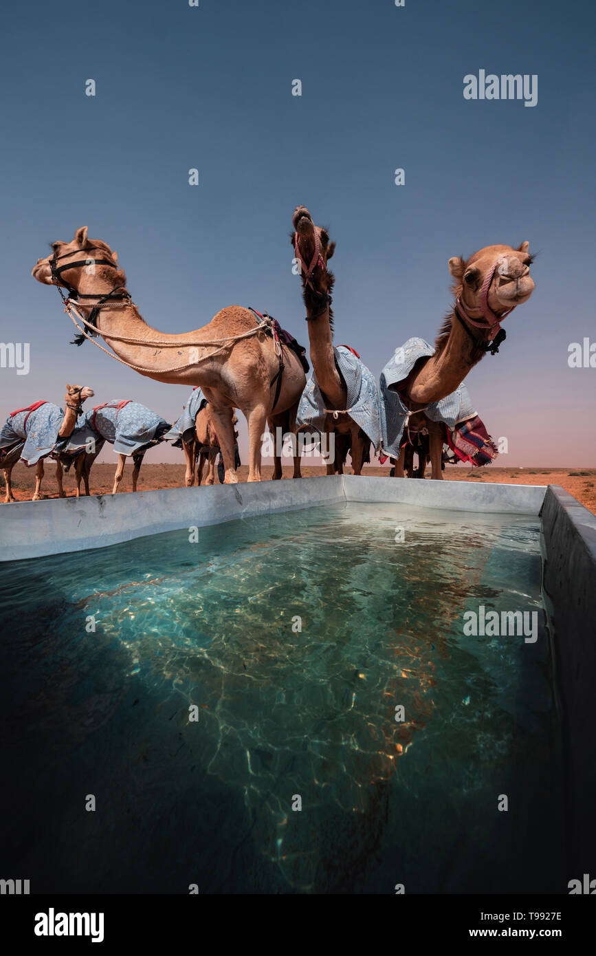 Drinking camels after a camel race, Saudi Arabia Stock Photo
