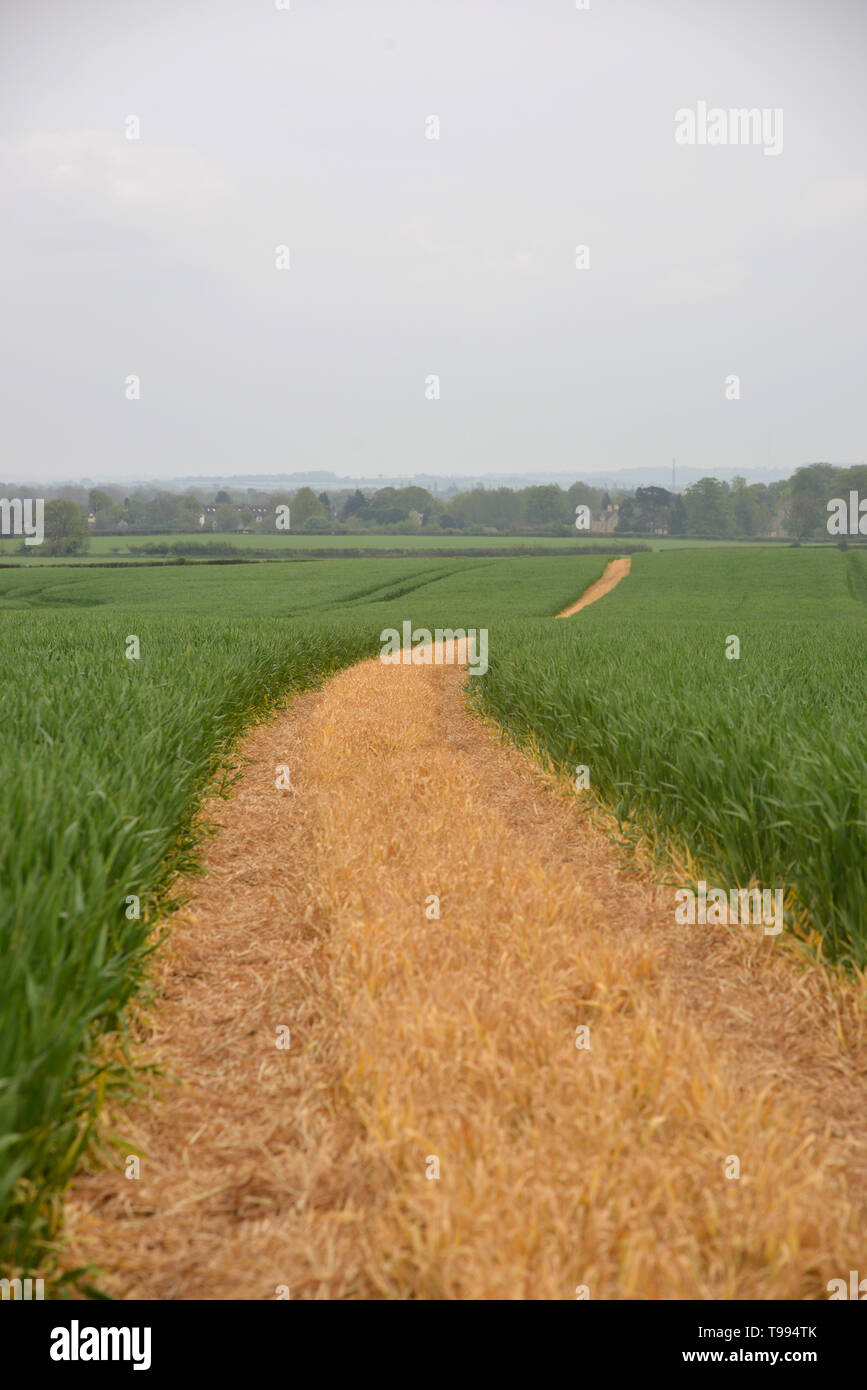 A footpath which has been clearly marked by a farmer runs acorss a field of crops between the Oxfordshire villages of Bladon and Begbroke Stock Photo