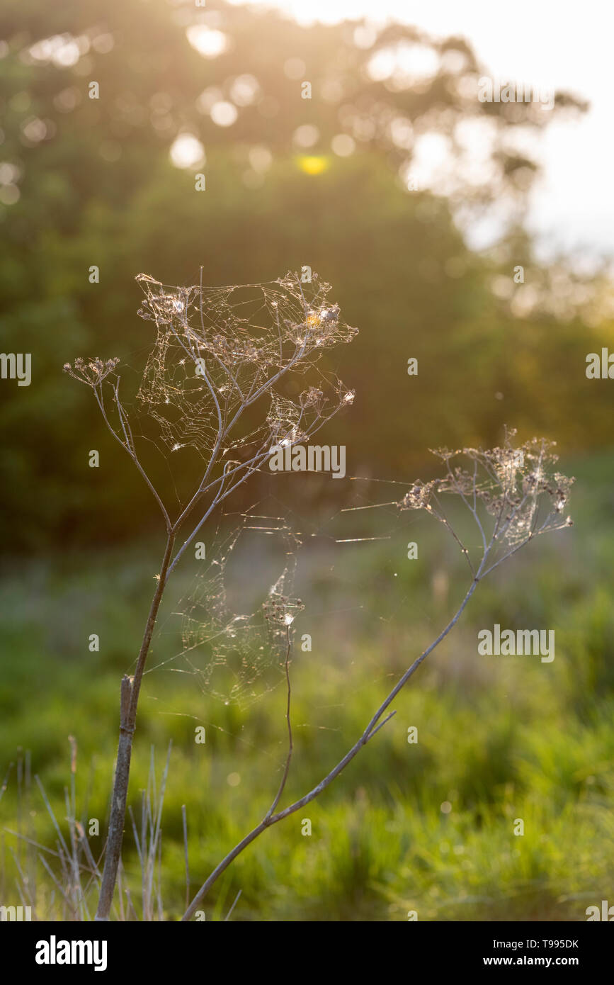 Cobwebs and spiders webs on an old cow parsley stem in a field in the UK backlit in evening light - Stock Image