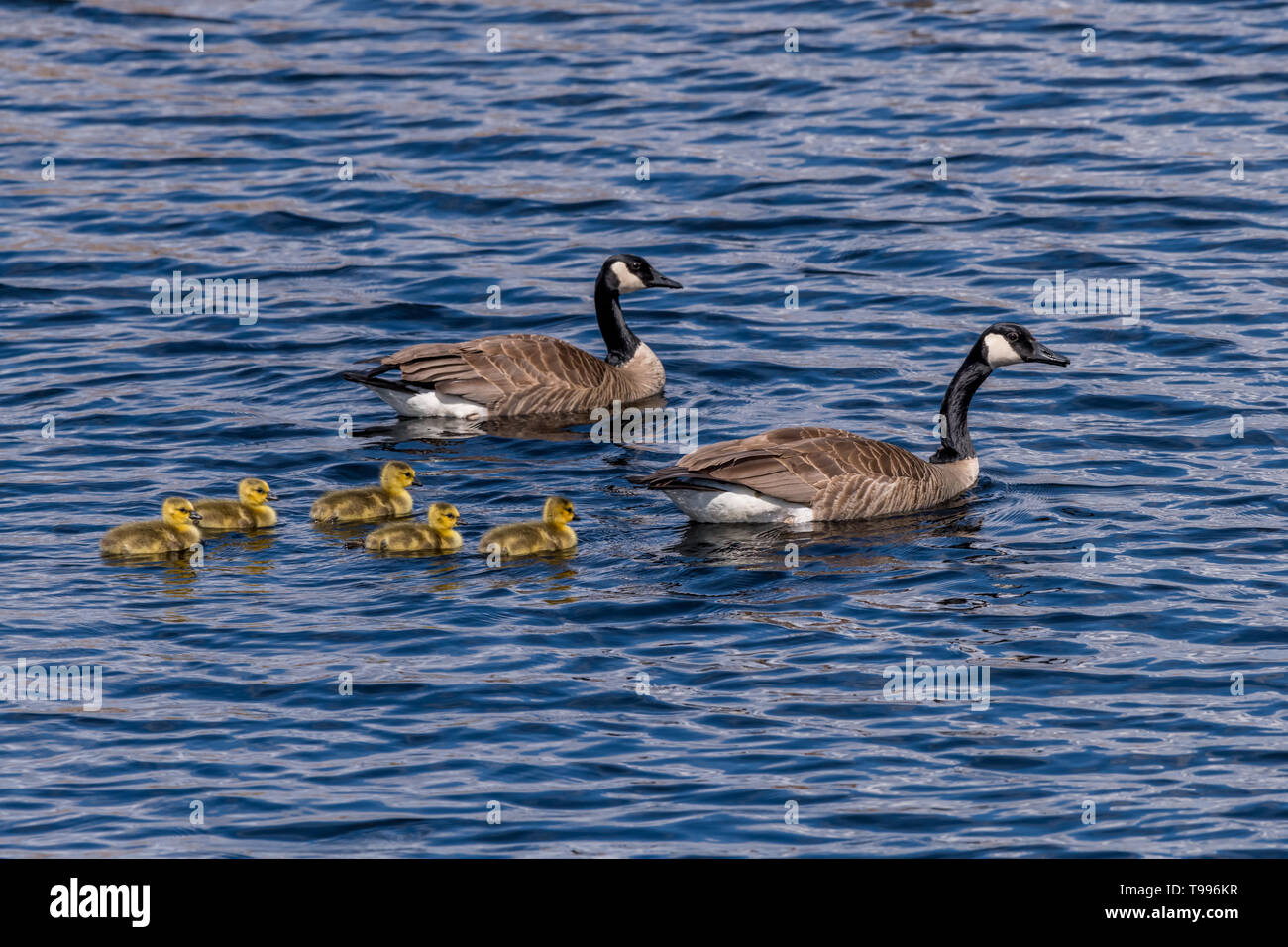 Two Canada Geese (Branta canadensis) adults and five goslings (chicks) swimming. Stock Photo