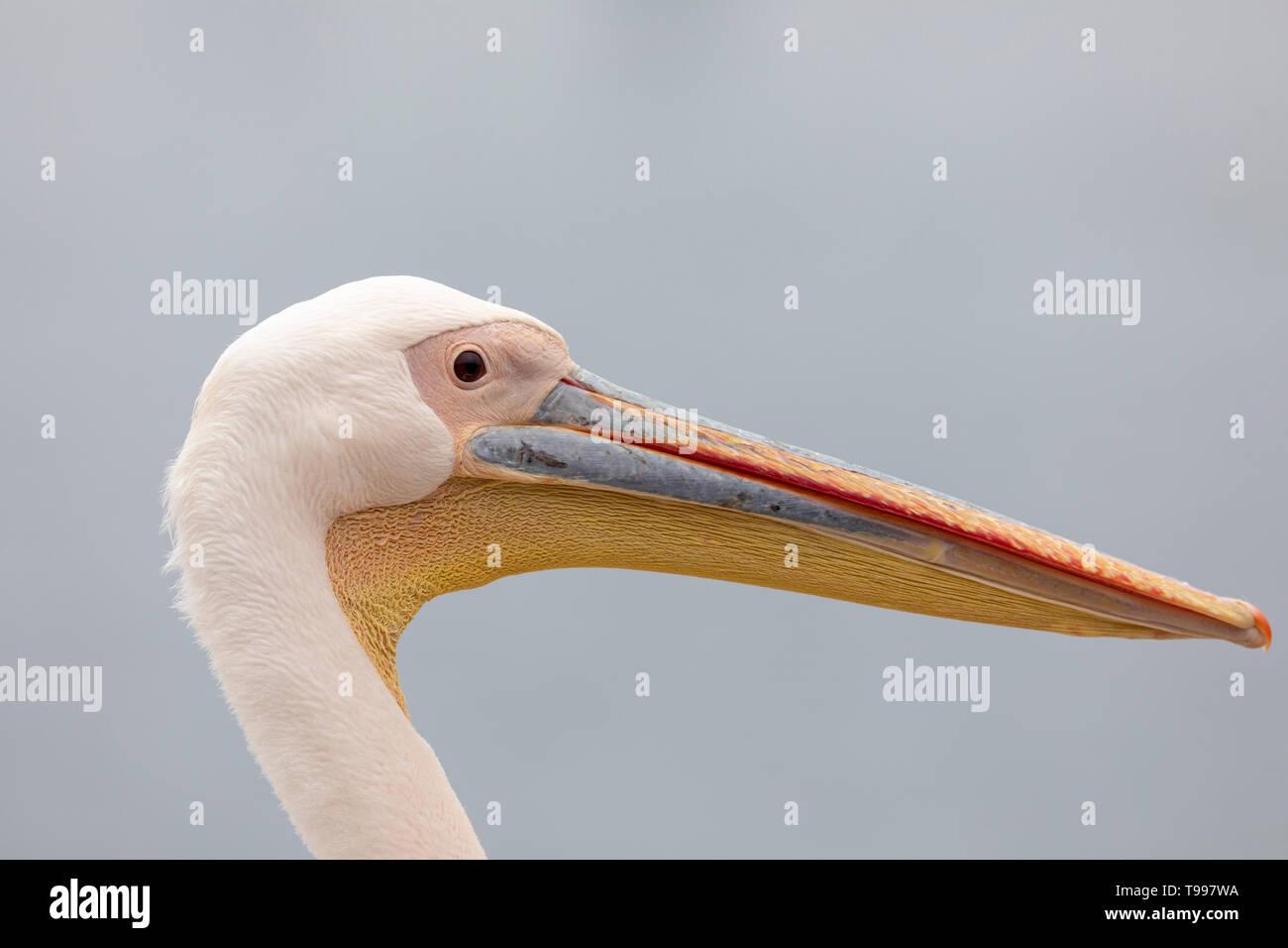 Great White Pelican (Pelecanus onocrotalus) - Stock Image