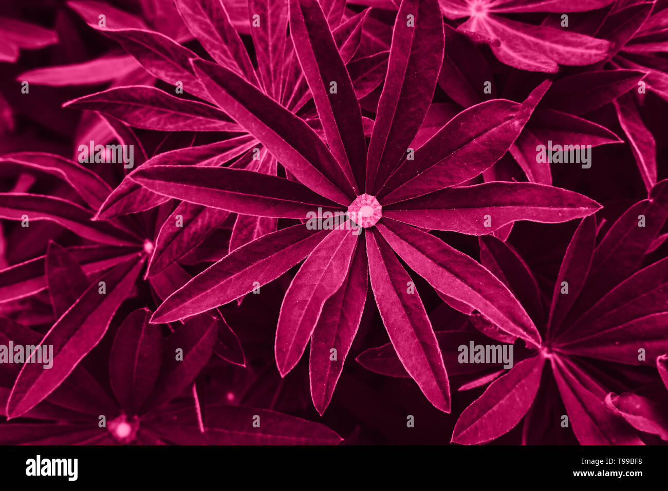 Bright magenta pink leaves top view minimalistic background. Floral backdrop concept. Foliage plant twigs texture. Flower petals close up. Floristry hobby. Web banner, greeting card idea - Stock Image