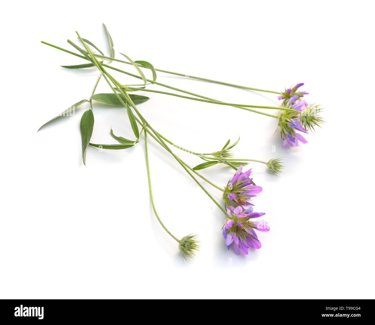 Bituminaria bituminosa, the Arabian pea or pitch trefoil isolated. Stock Photo