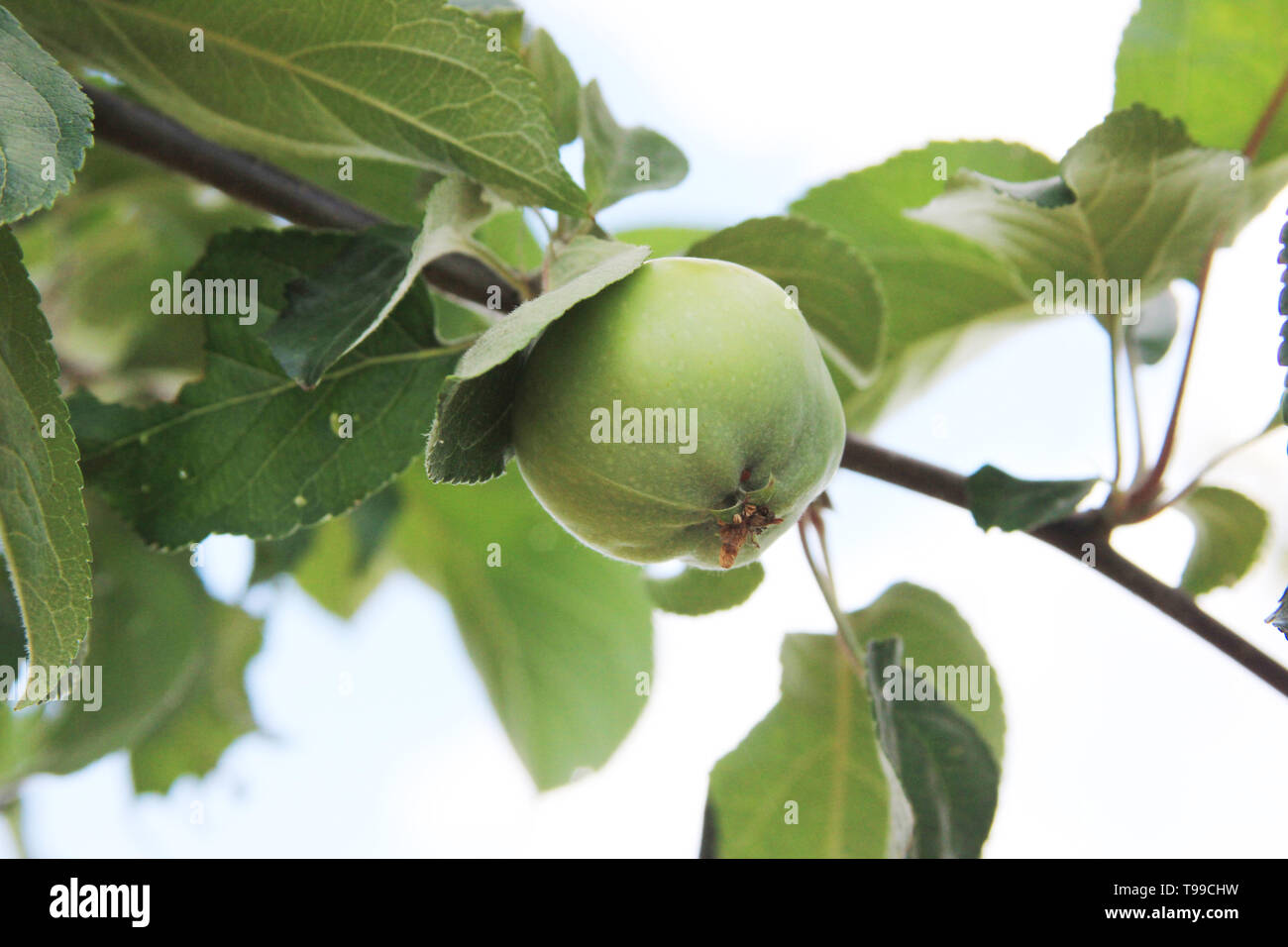 The green apple is ripening on the branch of the apple tree. Closeup - Stock Image