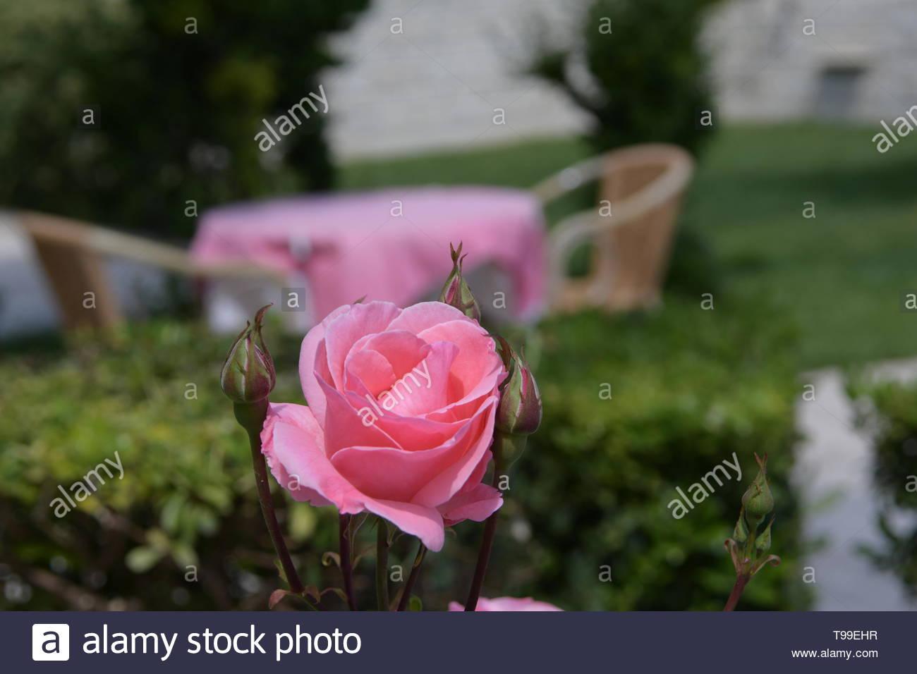 Turkey Pamukkale pink rose in Hal-Tur hotel terrace garden Stock Photo