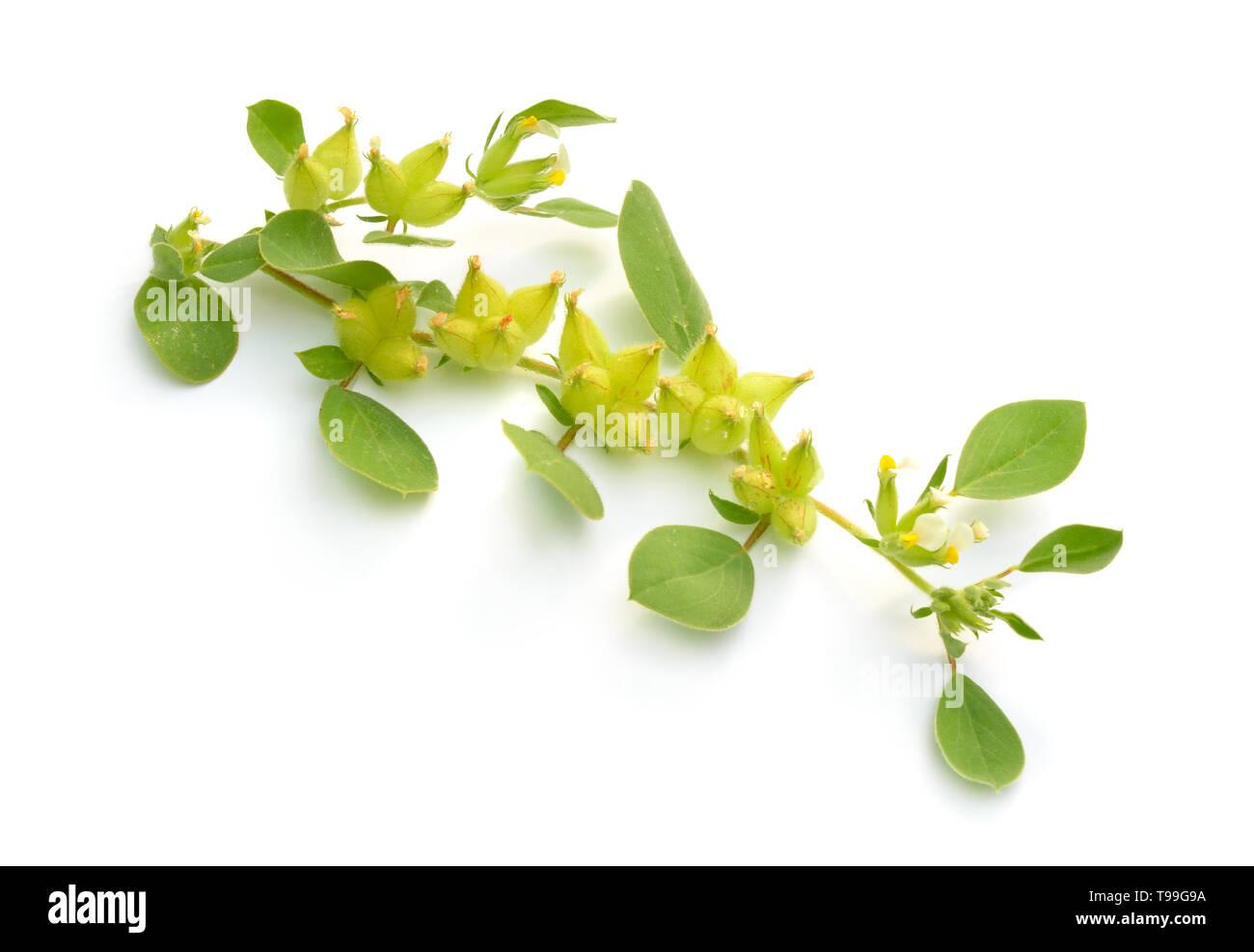 Flowering fresh Tripodion. Isolated on white background Stock Photo