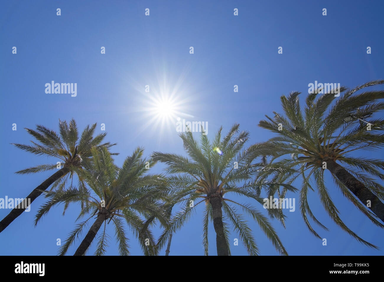 Bright sun with starry rays shines above palm trees on clear blue sky, global warming, vacation or freedom concept - Stock Image