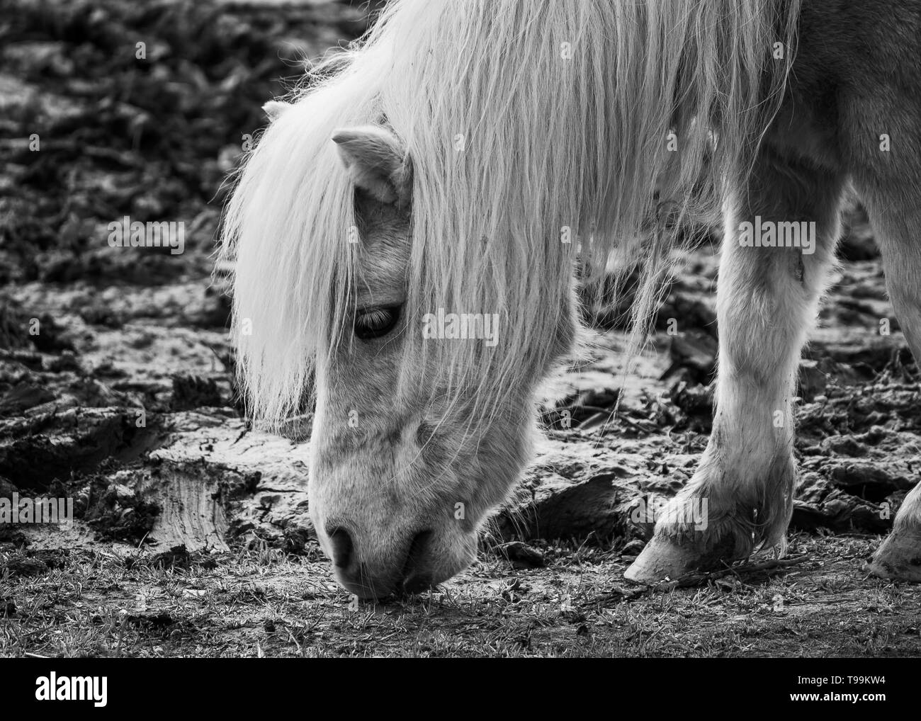 Portrait of a horse eating grass in black and white. Stock Photo