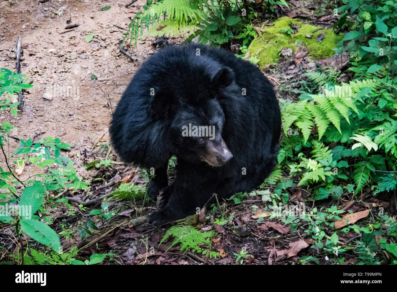 A Himalayan black bear standing. Asian black bear Ursus thibetanus also known as the moon bear and the white-chested bear relaxing in the zoo - Stock Image