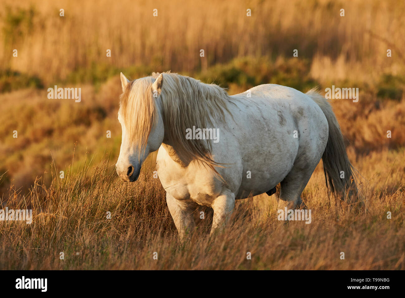 White horse of Camargue free in the swamp - Stock Image