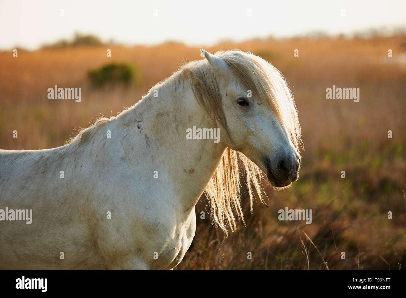 Portrait of a beautiful white horse of Camargue - Stock Image