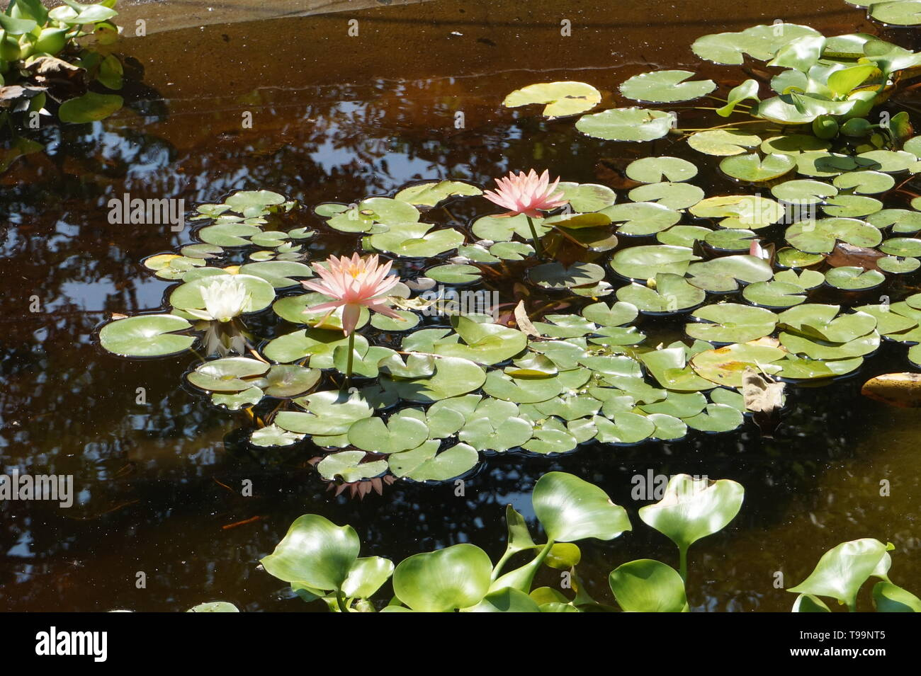 wonderful water flovers and green leaf in the water pool. Stock Photo