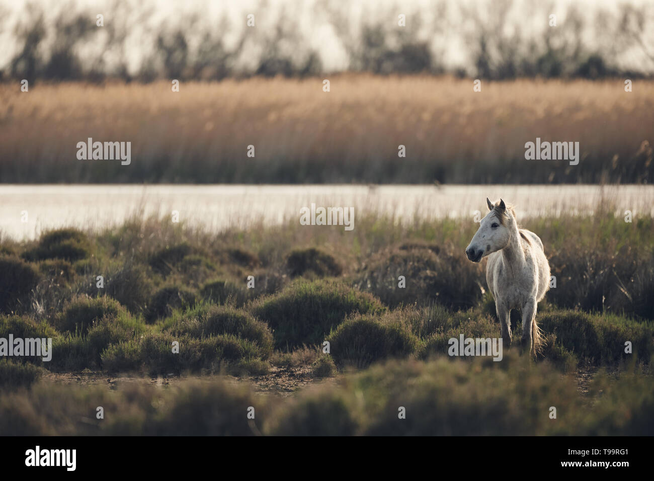 White horse of Camargue free in the swamp, matte style - Stock Image