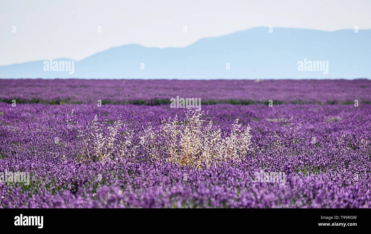 white herbs among the purple lavender flowers - Stock Image