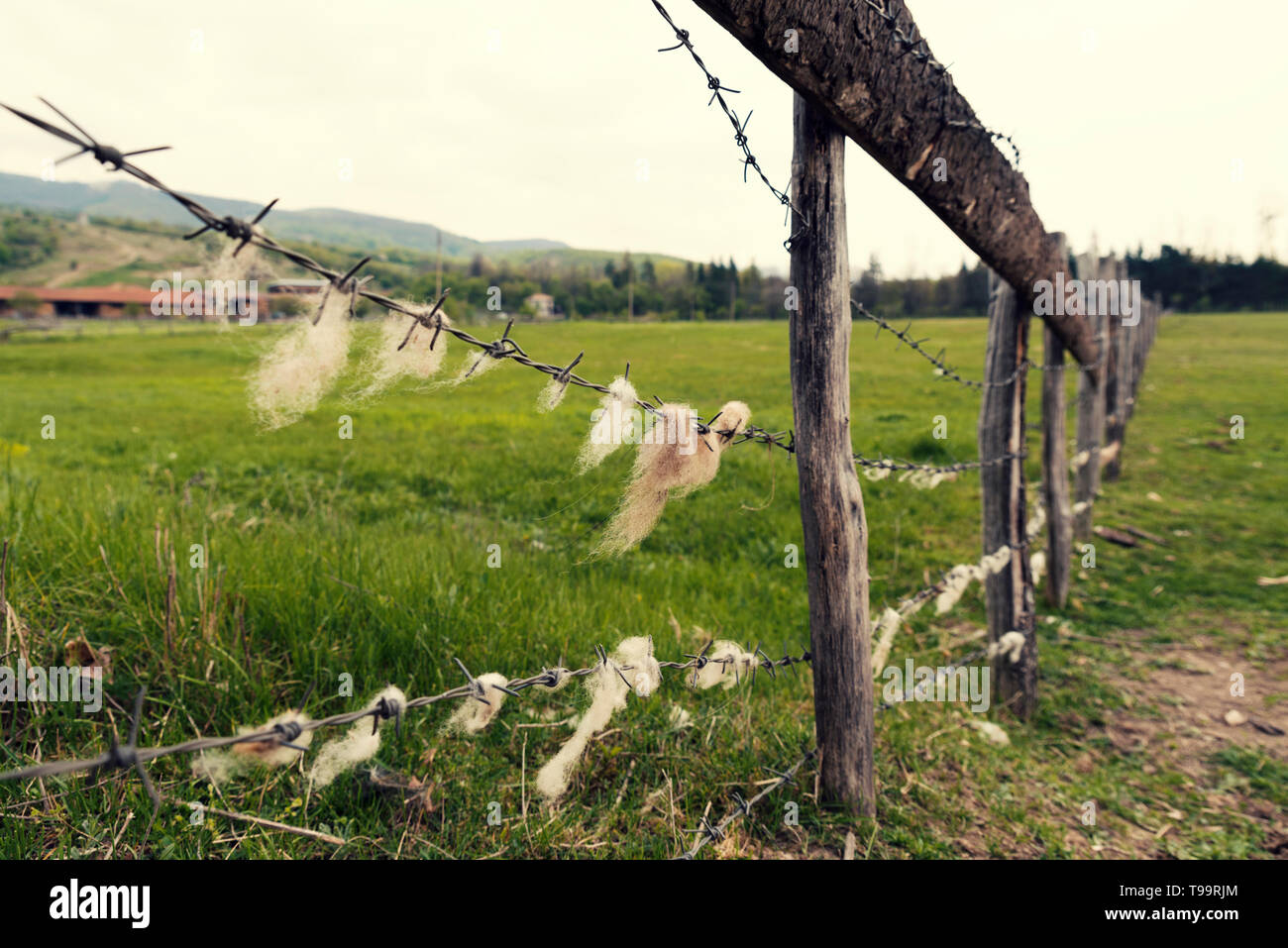 Animal farm in the country  Barbed wire with sheep wool on it Selective focus Stock Photo