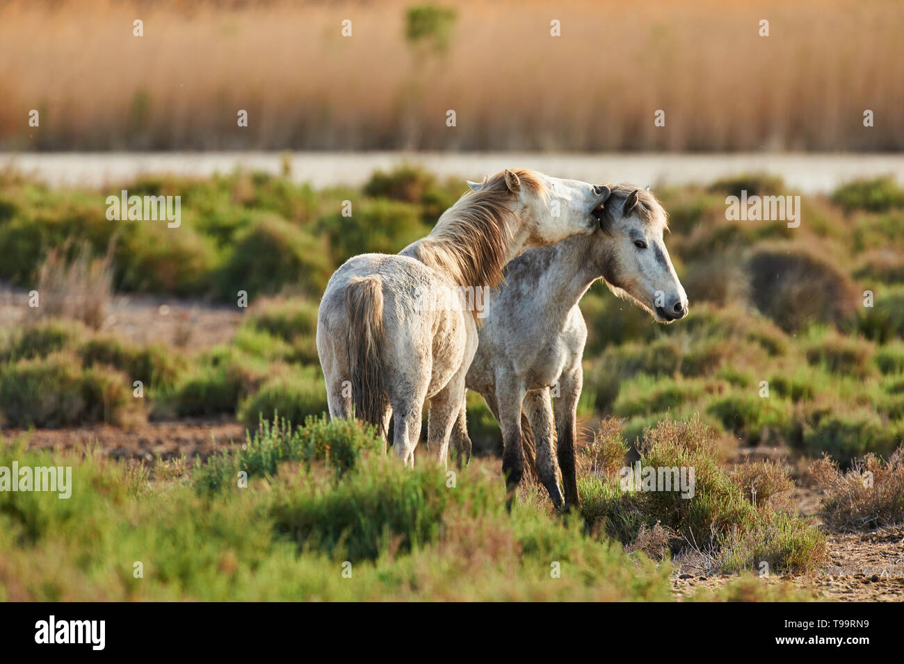 Two young horses of Camargue graze freely - Stock Image