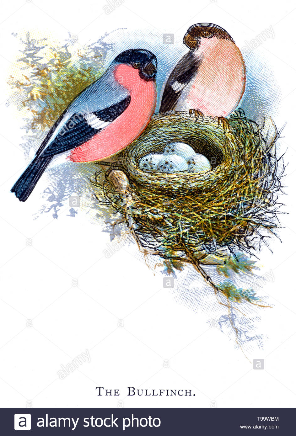 Eurasian or Common Bullfinch (Pyrrhula pyrrhula) male and female at the nest with eggs, vintage illustration published in 1898 - Stock Image