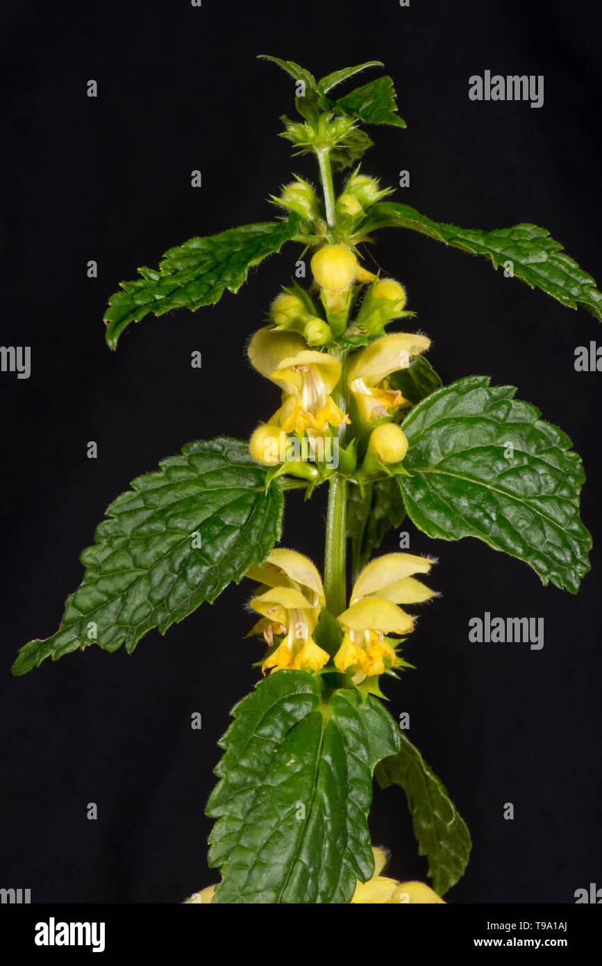Yellow archangel (Lamium galeobdolon) yellow labiate flowers and leaves of woodland plant, Berkshire, May - Stock Image