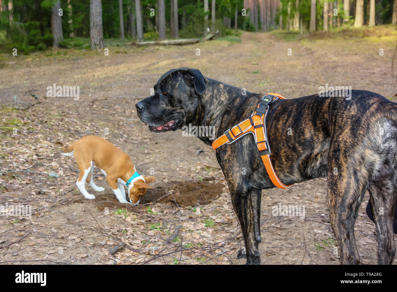 Basenji breed dog and Italian Cane Corso playing together in the woods in spring time - Stock Image