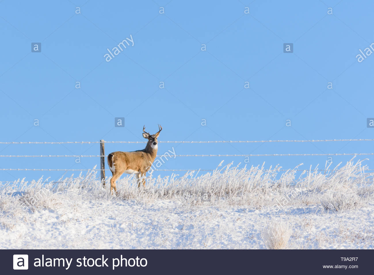 A frosty White Tailed Deer buck, Odocoileus virginianus, standing near a barbed wire fence in a field on a cold morning with heavy hoar frost. Stock Photo